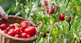 2020'de 608 milyon dolarlık domates ve mamulleri ihracatı yapıldı