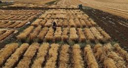 Harran Üniversitesi'nde Kuraklığa Dayanıklı Makarnalık Buğday Çeşit Geliştirme Çalışmaları Devam Ediyor
